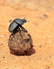 Dung Beetle (ruslou (More off than on)) Tags: nature southafrica fly dungbeetle warmbaths ruslou belabela zwartkloofprivategamereserve