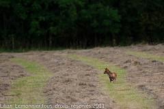 Les foins sont coups .... (lilian.lemonnier) Tags: mammals roux mammalia carnivores redfox vulpesvulpes renard carnivora canidae mammifres renardroux canids