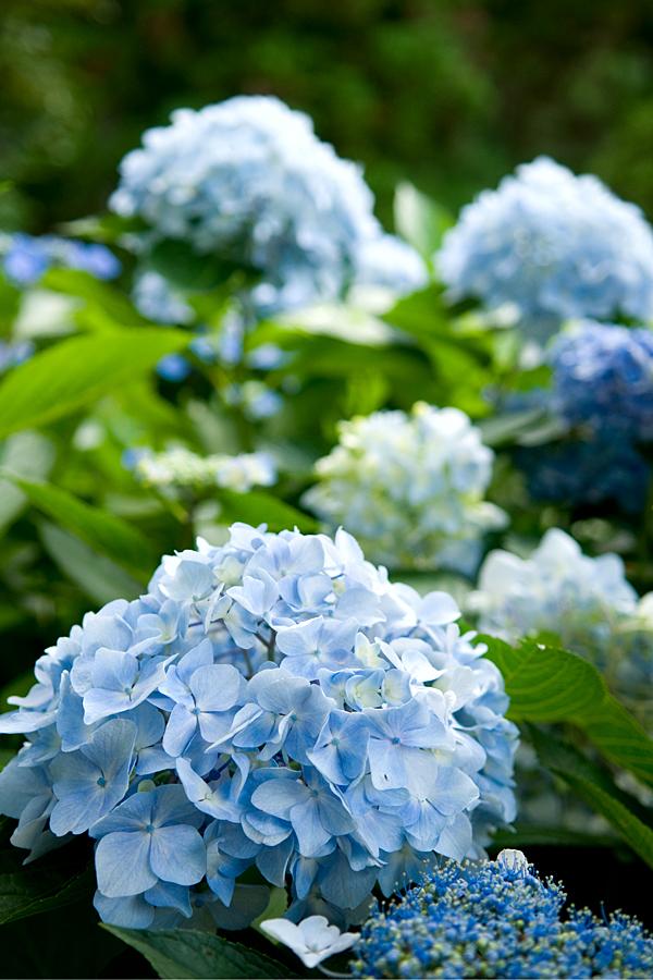 紫陽花|福井県若狭町