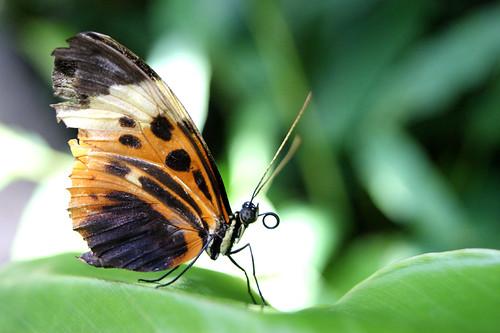 ButterflyPavilion8-butterfly