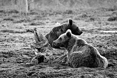 Bears (Martin.Olsson) Tags: bear summer blackandwhite bw nature canon suomi finland eos blackwhite hide 7d lightroom ef702004l canonef70200mmf4lusm canoneos7d viiksimo