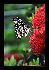 Butterfly and flowers (e.nhan) Tags: flowers light red flower art nature closeup butterfly nikon colorful colours dof bokeh arts butterflies backlighting d90 enhan