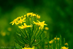 ..   F L O W E R   .. (||~  ) Tags: flower green yellow canon eos natural saudi arabia 1855 abha 56  ksa        1000d