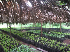 Vosges cacao trees in a palapa greenhouse