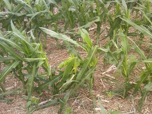 Hailed corn