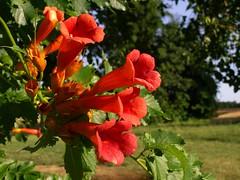 Summer Morning (photo_secessionist) Tags: red summer flower colour film fuji pentax happybirthday bloom superia400 unedited mesuper fujicolor citrit orgnge soligorf35452880zoommacrolens pentaxart