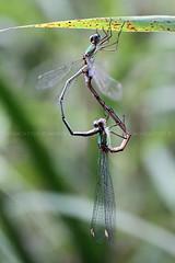 Lestes viridis II