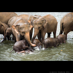 Pinnawela Elephant Orphanage II (martin fredholm) Tags: summer elephant asian august orphanage srilanka pinnawela elephasmaximus 2011