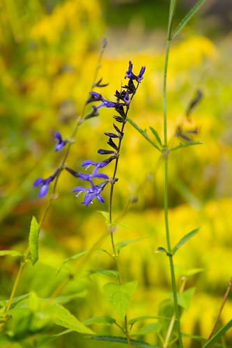 salvia black and blue  640