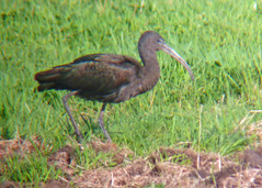 Glossy Ibis, RSPB Saltholme