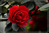 For The Love I Remember (Vinu Thankachan) Tags: autumn red flower love nature rose drops nice nikon remember redrose dew redflower moning rosses niceflower withlove nicerose redrosses d3100 curerose