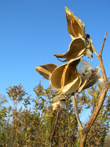 empty seed pods