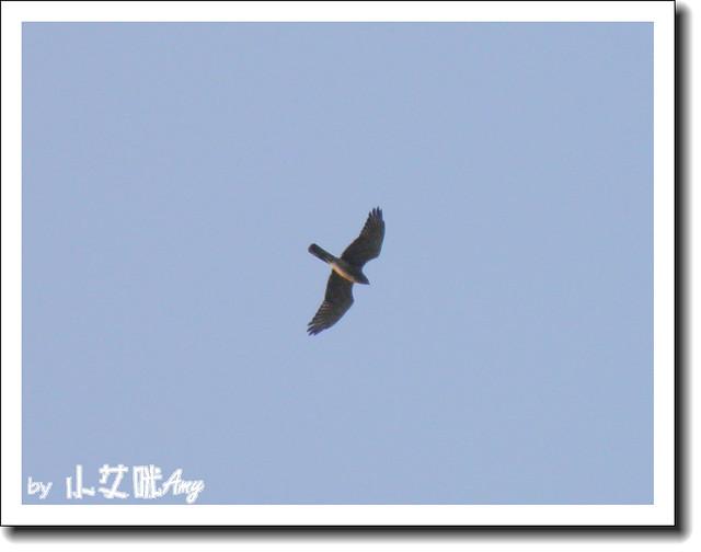 滿州里德橋觀落鷹灰面鷲PA180497
