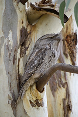 IMG_6854 (lizardstomp) Tags: owls australianbirds tawnyfrogmouths