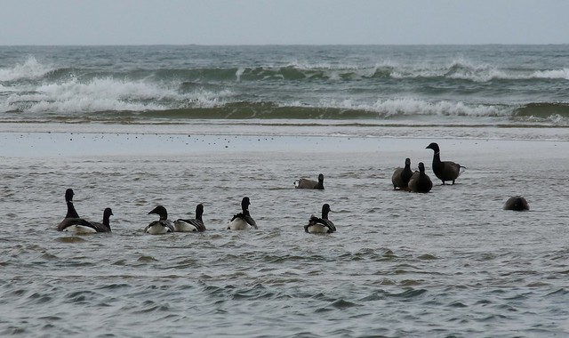 25233 - Brent Geese, Broughton Bay
