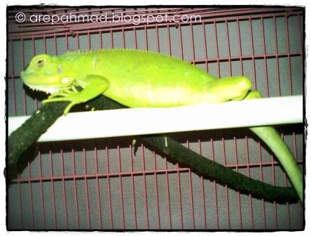 giko the iguana