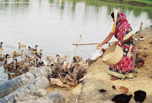 Poultry and fisheries, Bangladesh. Photo by CBFM-Fem Com Bangladesh, 2006