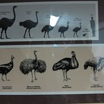 "Large Flightless Birds <a style=""margin-left:10px; font-size:0.8em;"" href=""http://www.flickr.com/photos/14315427@N00/6298189981/"" target=""_blank"">@flickr</a>"