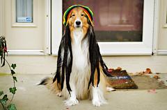 10/12: Happy Halloween! (Kerfuffle~) Tags: dog halloween sheltie fergus 1012 shetlandsheepdog dogincostume 12monthsfordogs twelvemonthsfordogs