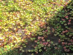 Wall of Leaves in Shadow (shaire productions) Tags: plants plant green nature floral leaves garden photo image photograph vegetation greenery imagery