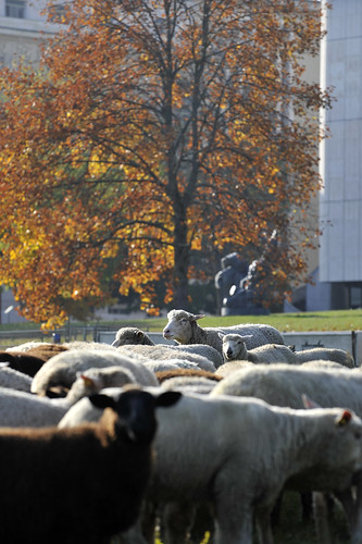 Sheep on lawn in front of Palais des Nations - UN photo by Jean Marc Ferre