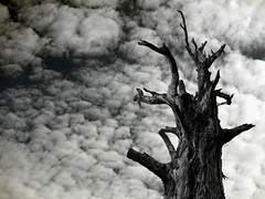 THE LAST TREE STANDING (kenny barker) Tags: bw art nature monochrome landscape scotland contemporary society dunblane artisticphotos alberoefoglia treesdiestandingup panasonicg1