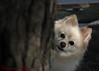 DSC_0744 2 (zoo2292) Tags: bear dog puppy peekaboo doggy pomeranian pompom