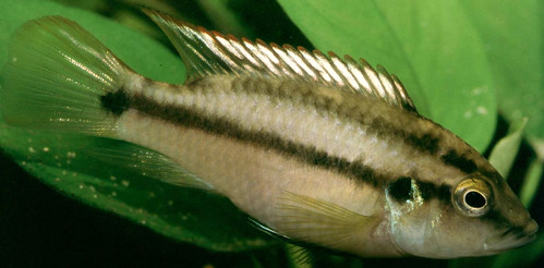 Benitochromis Spec Eseka, Malawi. Photo by Randall Brummett, 2004