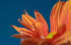 Flower (Mohammed Almuzaini   ) Tags: flower canon nice nikon flickr pro                   waterdropsmacros