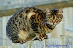 Sitting on the fence. (Paul (Barniegoog)) Tags: november pet nature animal cat fence garden feline tabby tabbycat