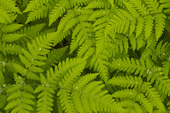 Ferns (Jason S Ching) Tags: lake leaves rain alaska river bristol bay washington drops university drop dew program droplet ferns slamon aleknagik