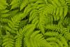 Ferns (Jason S Ching) Tags: lake leaves rain alaska river bristol bay washington drops university drop dew program droplet ferns slamon aleknagik