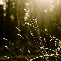 Sun Showers (Boreal Bird) Tags: square goldenlight sunshowers magicalfrostcoveredmorningathartleynaturereserve