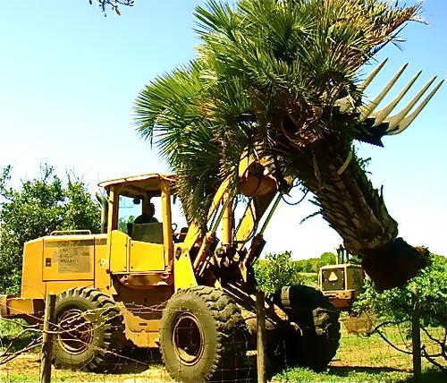 orange-tree-removal