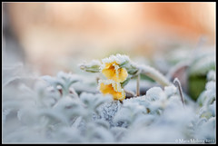 Yellow Flowers in Frost (mmoborg) Tags: flowers frozen frost sweden sverige blommor 2011 mmoborg mariamoborg