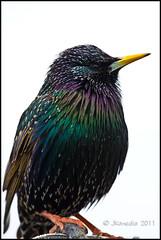 Starling (JKmedia) Tags: wild orange brown green bird texture yellow closeup foot purple wildlife beak feathers starling spots colourful avian bature canoneos40d 15challengeswinner fabcap jkmedia