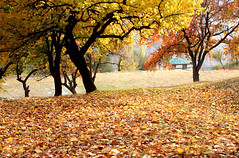 Leafy Carpet :) (Amir Mukhtar Mughal | www.amirmukhtar.com) Tags: autumn trees pakistan tree fall colors beautiful leaves canon colours image north images amir hunza mughal mughals northofpakistan pakistanphotos pakistanimages amirmukhtar autumninpakistan wwwamirmukhtarcom amirphotog000954hunza