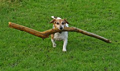 Think Big (RoystonVasey) Tags: dog canon newcastle eos zoom tyne stick jpg usm 70300mm upon 400d