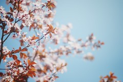 Spring in Athens (ingephotography) Tags: blue sky blauw blossom athens greece lucht athena bloesem athene athina