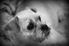 (andrewlee1967) Tags: dog penny canon50d bw andrewlee1967 efs60mmf28usm andrewlee