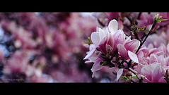 Magnolia (elkarrde) Tags: colors spring dof pentax bokeh sears depthoffield zagreb magnolia f28 2012 135mm twop shallowdof 2391 k20d justpentax pentaxk20d pentaxart searsmod202135mmf28 mod202 spring2012