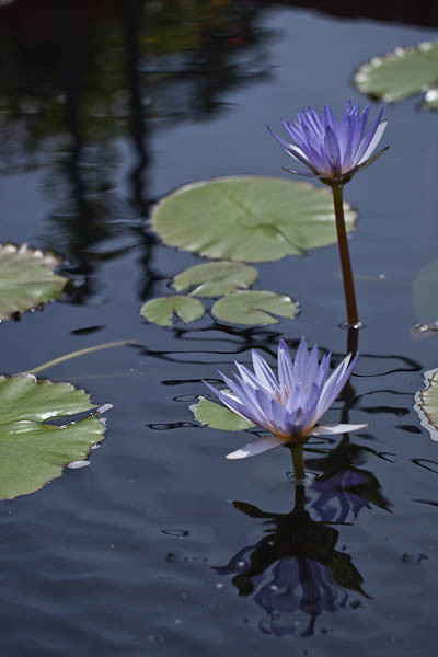 'Blue Beauty' Tropical Water Lily