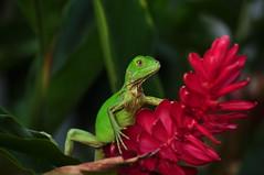 Iguana (Pablo Buitrago Ángel) Tags: blur flower detail green animal fauna flora dof flor iguana reptil ltytrx5 15challengeswinner thechallengefactory