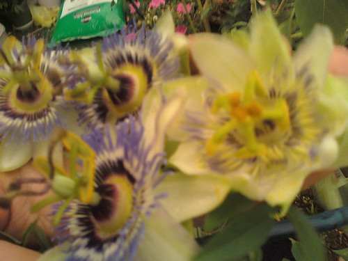 some of my passiflora - Page 2 5908251156_f6aa4fa635