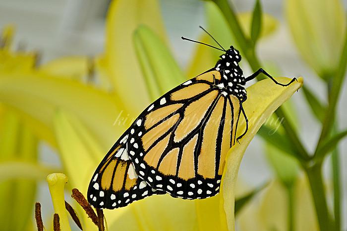Monarch butterfly #3