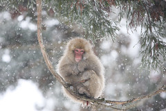 Snow Monkey (Masashi Mochida) Tags: snow japan monkey nagano jigokudani