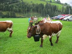 Abtrieb 2011-097 (Das Kleine Salzburger Nationalparkhotel) Tags: sterreich mittersill uttendorf almabtrieb nationalparkhohetauern