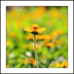 close-up [Explore Front Page] (e.nhan) Tags: life light flower art nature yellow closeup colorful colours dof bokeh backlighting enhan