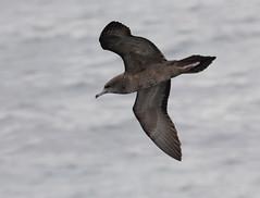 Wedge-tailed Shearwater (boombana) Tags: sydney australia nsw shearwater australianbirds pelagic wedgetailedshearwater puffinuspacificus 2011 puffinus ardennapacifica