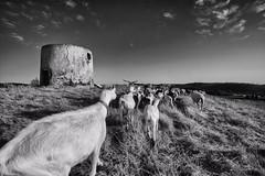 sou uma cabra (António Alfarroba) Tags: mill ruin ruina goats herd figueira moinho cabras rebanho viladobispo
